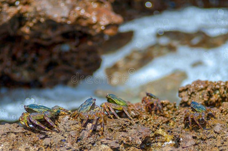 Granchi variopinti sotto le rocce dal mare, Oman, mare arabo immagini stock