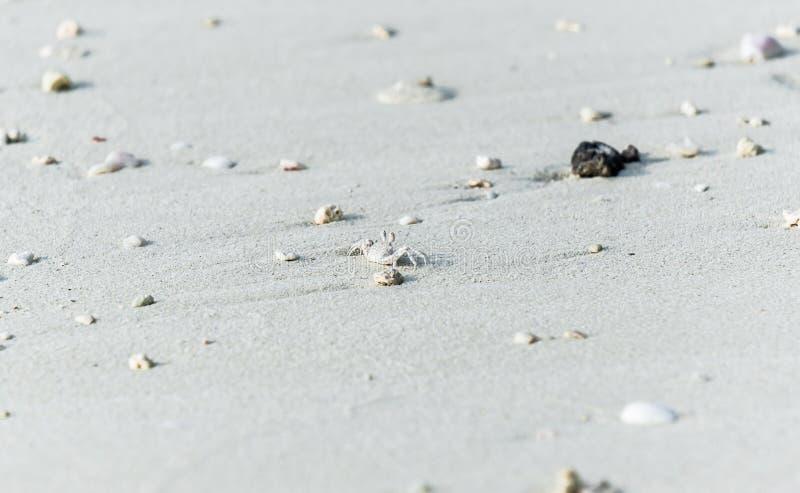 Granchio bianco minuscolo sulla sabbia delle Maldive fotografia stock