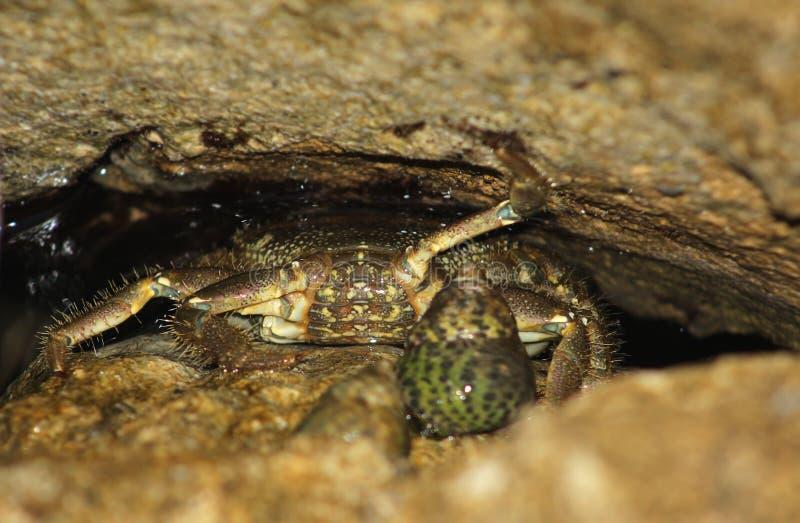 Granchio che si nasconde sotto le pietre nell'acqua immagine stock