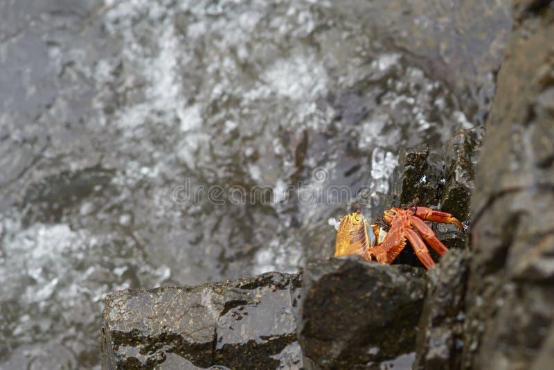 Granchio Colourful sulla costa del Pacifico del Cile fotografia stock