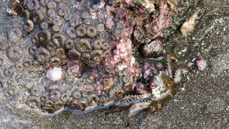 Granchio con corallo fotografie stock
