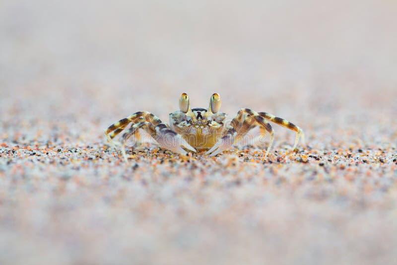 Granchio cornuto del fantasma sulla sabbia fotografie stock