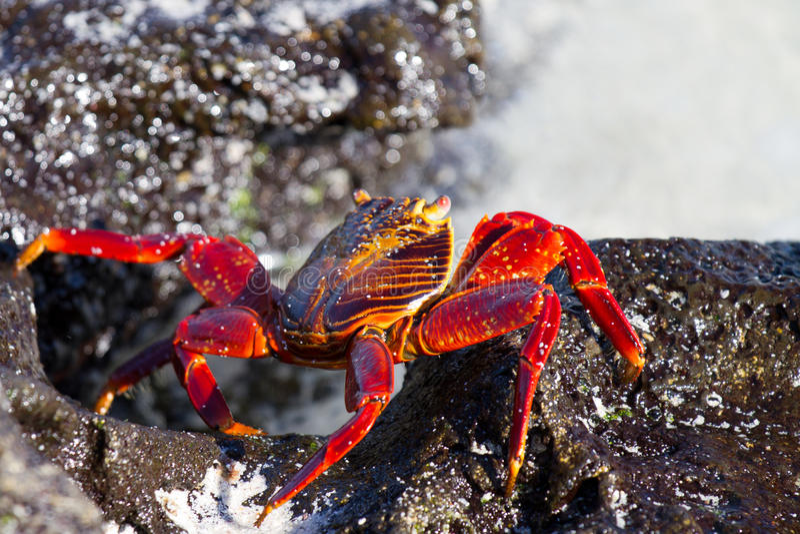 Granchio del Galapagos fotografie stock