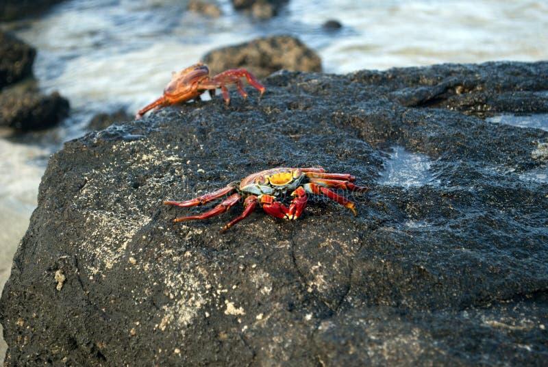 Granchio del Galapagos fotografia stock libera da diritti