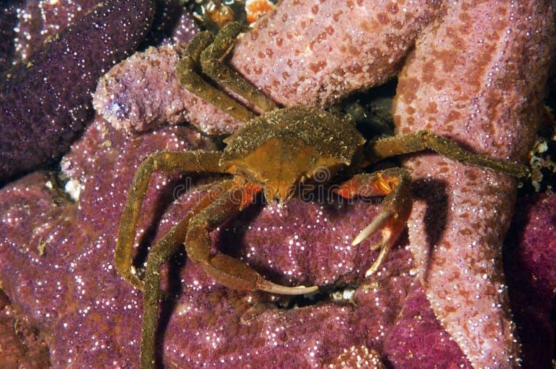 Granchio del kelp immagine stock