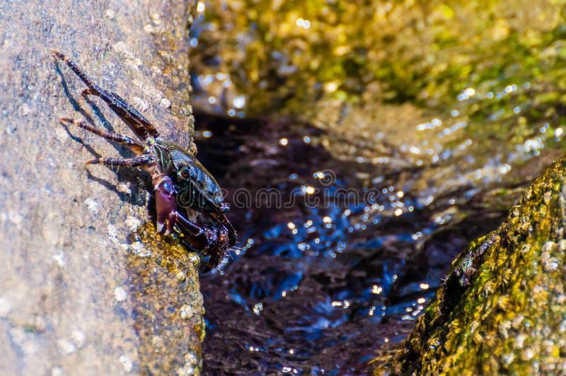 Granchio del mare che si siede sulla pietra gialla della roccia circondata dalle acque piene di vita marina subacquea vibrante, a fotografia stock