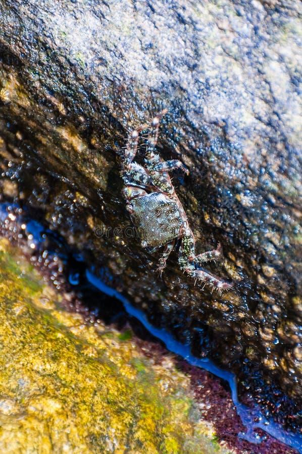 Granchio del mare che si siede sulla pietra gialla della roccia circondata dalle acque piene di vita marina subacquea vibrante, a immagine stock libera da diritti