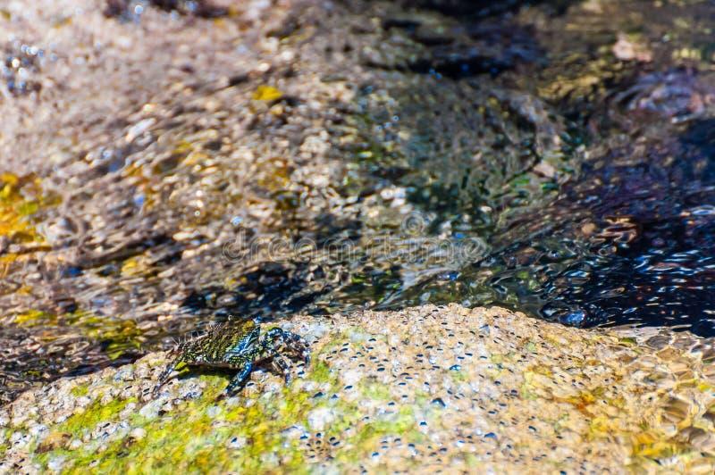 Granchio del mare che si siede sulla pietra gialla della roccia circondata dalle acque piene di vita marina subacquea vibrante, a fotografie stock