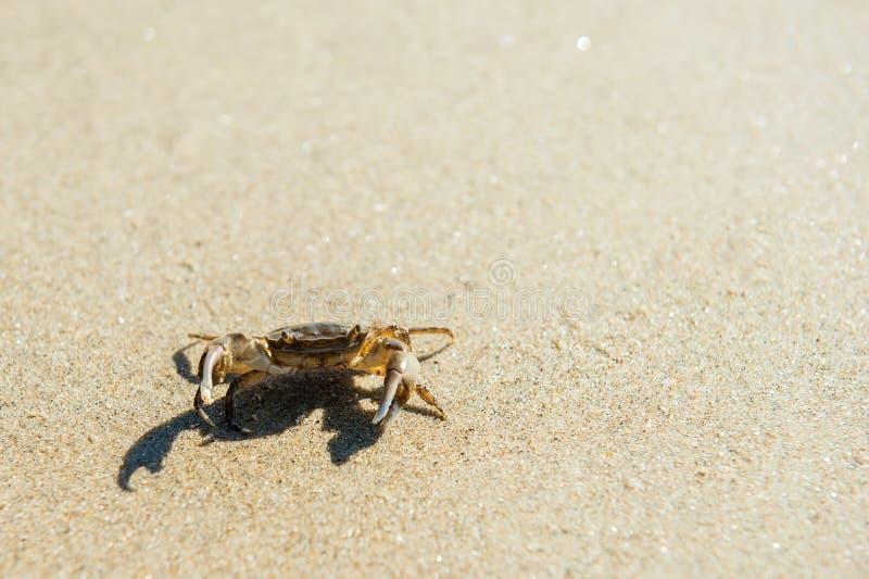 Granchio del mare sulla spiaggia immagini stock