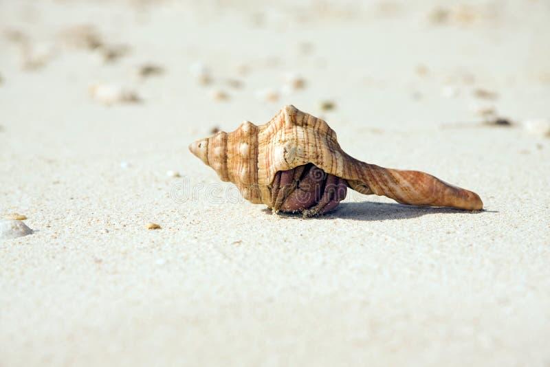 Granchio dell'eremita che si nasconde sulla spiaggia immagini stock libere da diritti