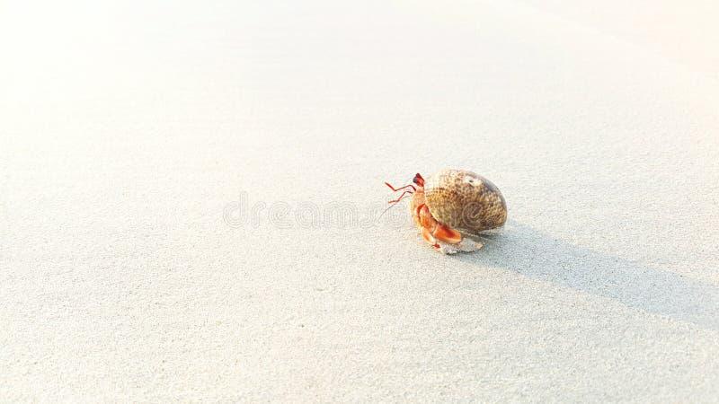 Granchio dell'eremita sulla spiaggia fotografie stock libere da diritti