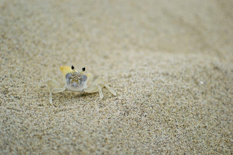 Granchio della sabbia fotografia stock libera da diritti
