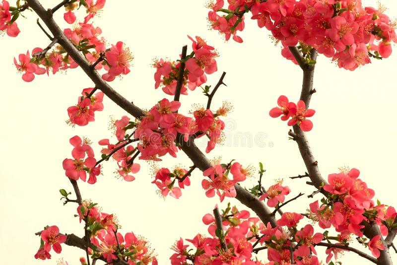 Granchio-mela di fioritura cinese fotografia stock libera da diritti