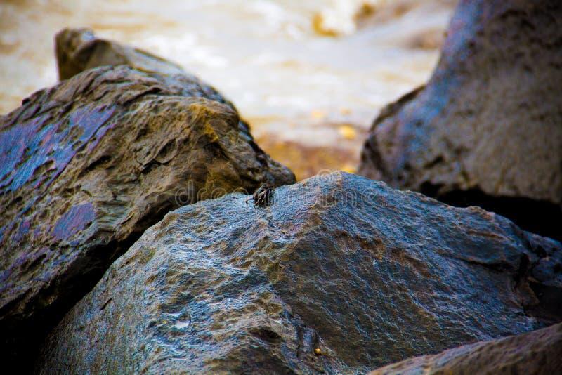 Granchio minuscolo su una roccia fotografie stock