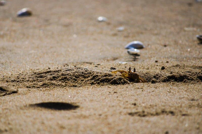 Granchio nella spiaggia immagine stock