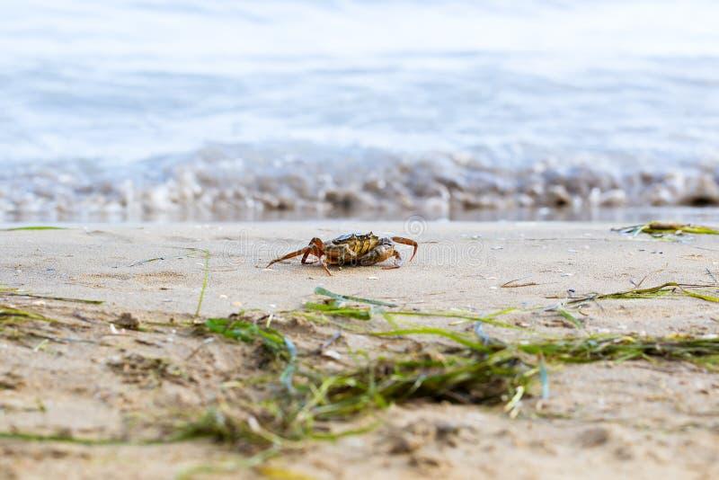 Granchio rosso lavato sulla sabbia fotografie stock libere da diritti