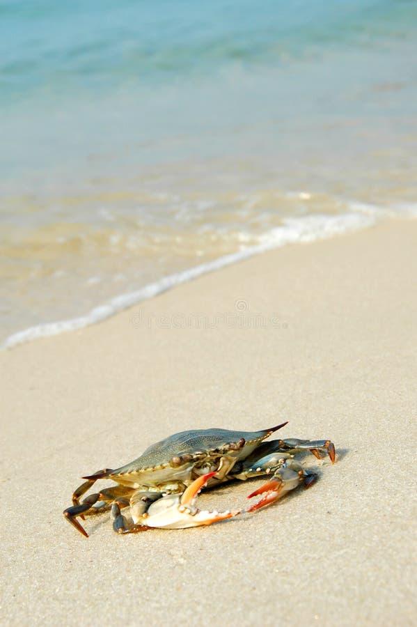 Granchio sulla spiaggia fotografia stock libera da diritti