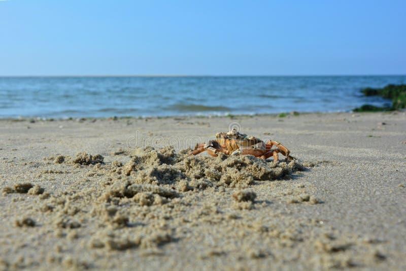 Granchio sulla spiaggia sabbiosa prima del mare fotografie stock libere da diritti