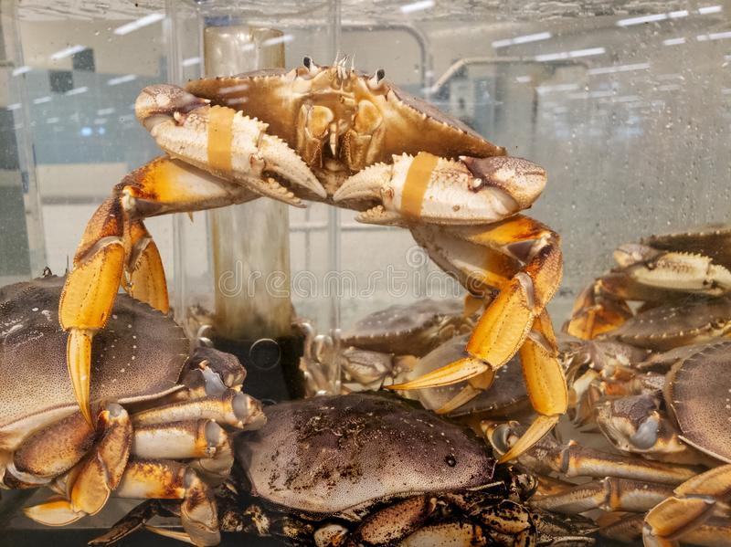 Granchio in tensione fresco in serbatoio di acqua al mercato ittico che agisce come vuole vivere a scapito di altri fotografie stock libere da diritti