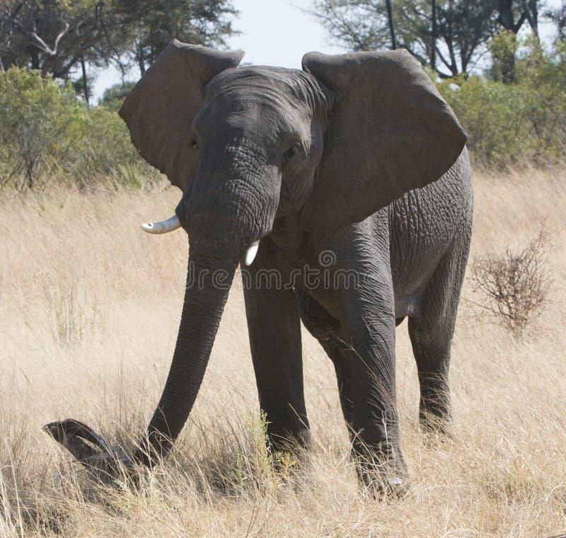 Grand éléphant africain photographie stock libre de droits
