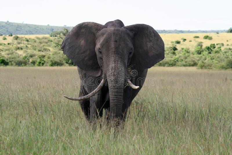 Grand éléphant dans une réserve nationale photos libres de droits