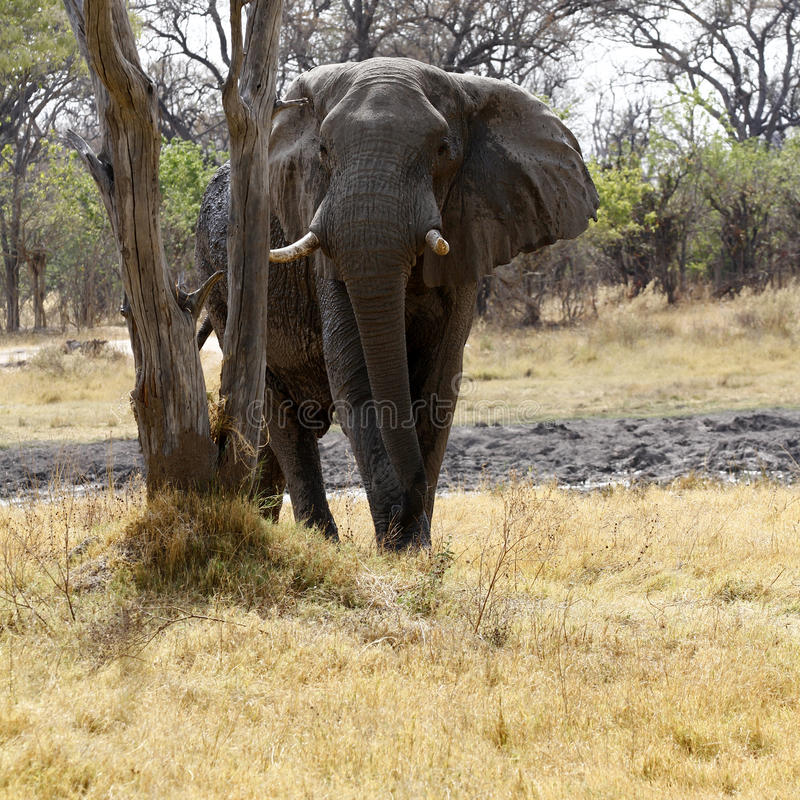 Grand éléphant de taureau photographie stock libre de droits
