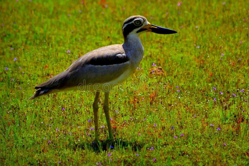Grand épais - genou en parc du wilpattu n plus grand que ce qui précède upperparts arénacé-bruns avec des underparts plus pâles photos libres de droits