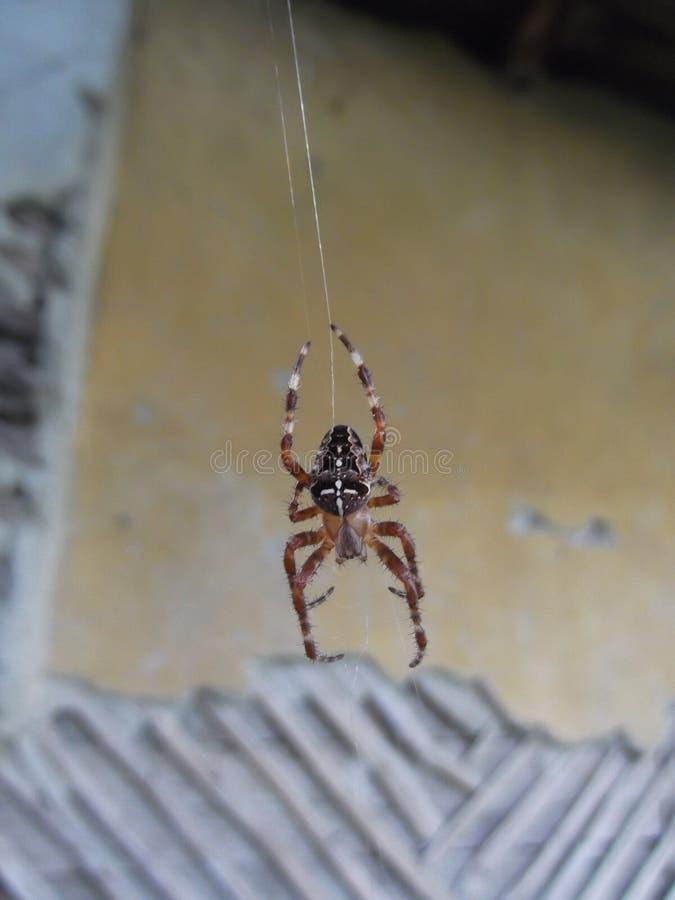 Grand accrocher d'araignée images libres de droits
