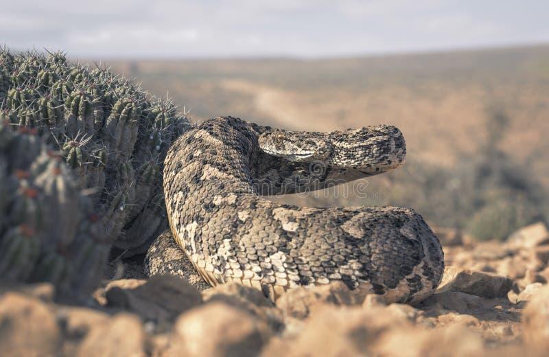 Grand additionneur de souffle femelle et x28 ; Arietans& x29 de Bitis ; dans la posture défensive près du cactus photo libre de droits