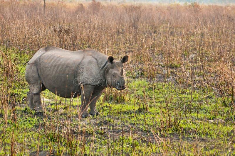 Rhinocéros dans Kaziranga images libres de droits
