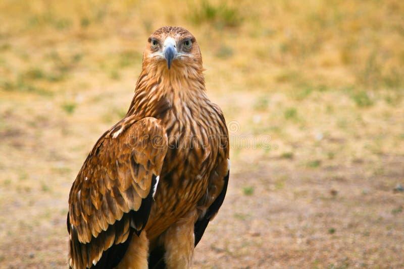 Grand aigle de steppe (nipalensis d'Aquila) images libres de droits