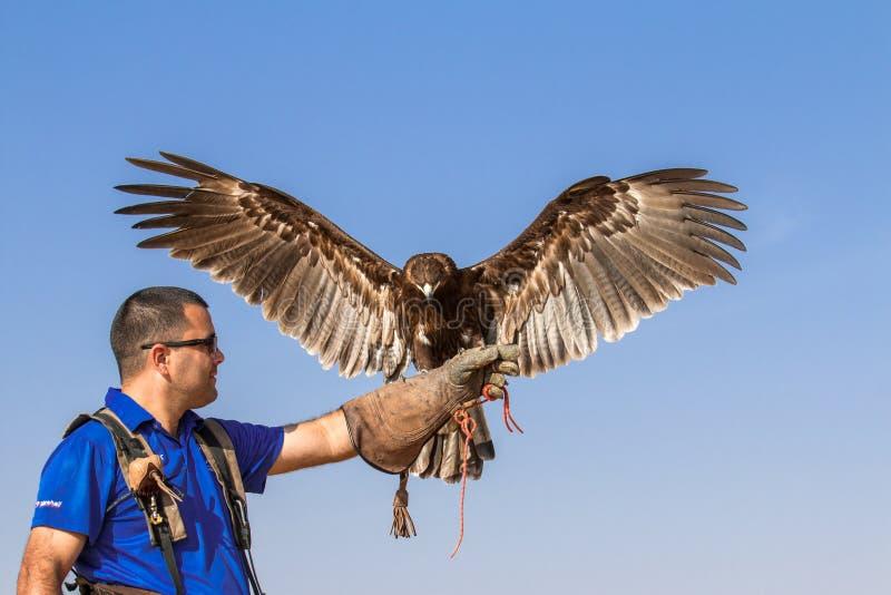 Grand aigle repéré masculin pendant une exposition de vol de fauconnerie à Dubaï, EAU photographie stock libre de droits