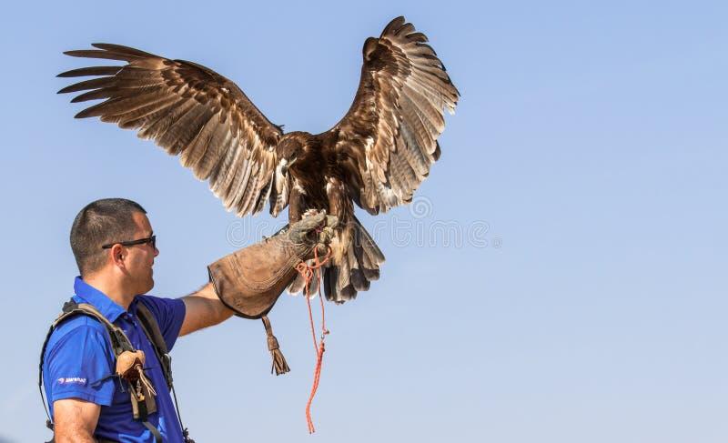 Grand aigle repéré masculin pendant une exposition de vol de fauconnerie à Dubaï, EAU photographie stock