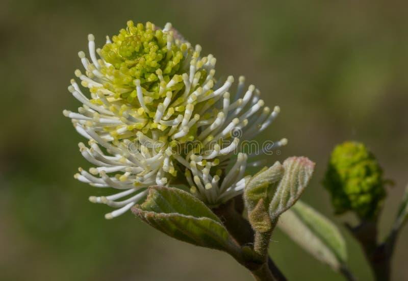 Grand alder& x28 de sorcière ; Major& x29 de Fothergilla ; plan rapproché simple de fleur photos stock
