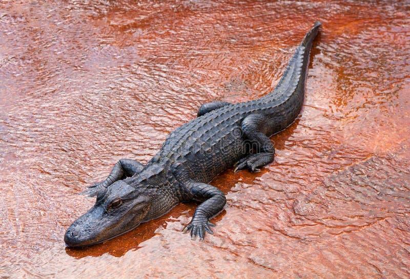 Grand alligator photos libres de droits