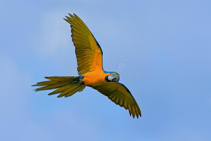 Grand ara bleu et jaune de perroquet, ararauna d'arums, vol sauvage d'oiseau sur le ciel bleu-foncé Scène d'action dans l'habitat photographie stock libre de droits