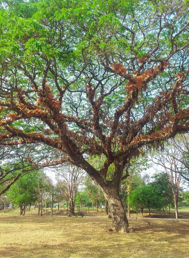 Download Grand arbre photo stock. Image du feuillage, beau, zone - 45361446