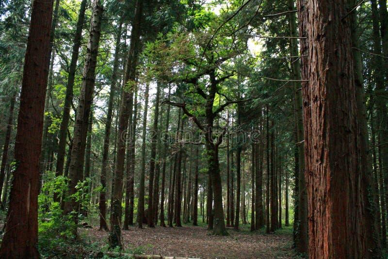 Grand arbre au milieu de l'ouverture en bois photo libre de droits