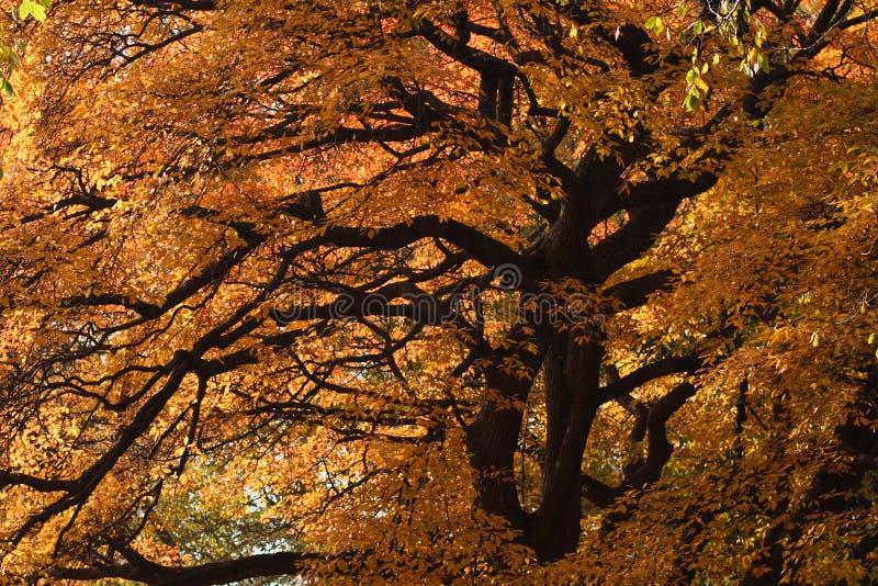 Grand arbre avec des couleurs d'automne photos stock