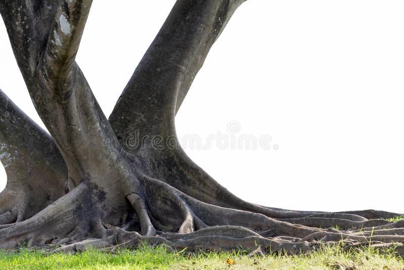 Grand arbre avec tronc et racines s'étalant sur la nature verte de l'herbe isolé sur fond blanc avec le chemin d'écrêtage photos stock