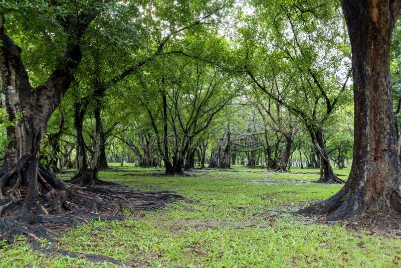 Grand arbre avec tronc et racines s'étalant sur le vert d'herbe dans la nature arrière-forêt avec soleil le matin photo stock