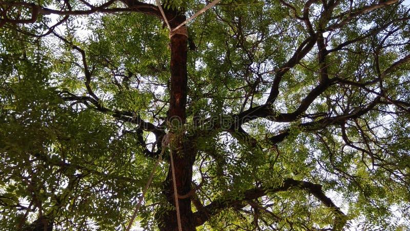 Grand arbre cliqué sur d'une oscillation images libres de droits