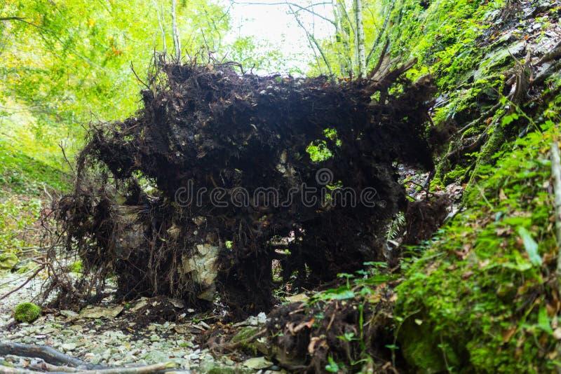Grand arbre déraciné images stock