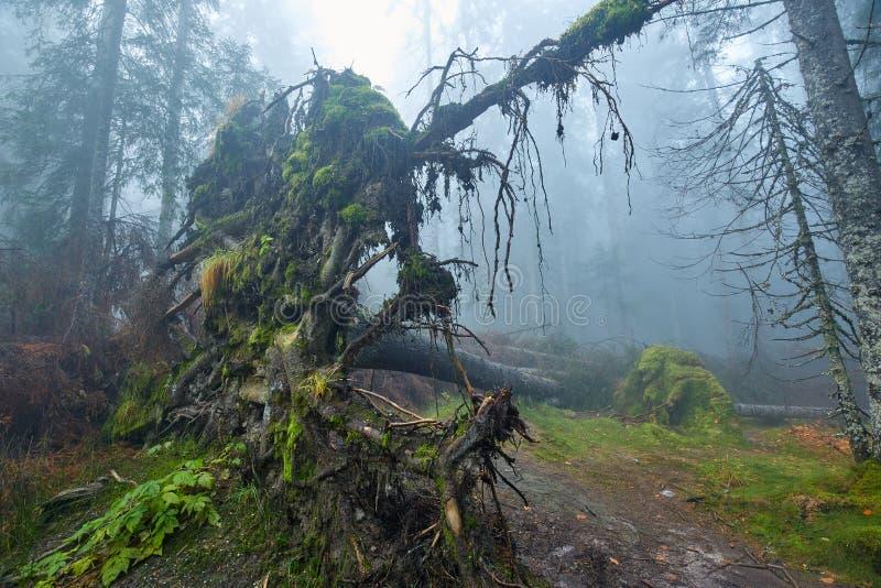 Grand arbre déraciné dans la forêt photos stock