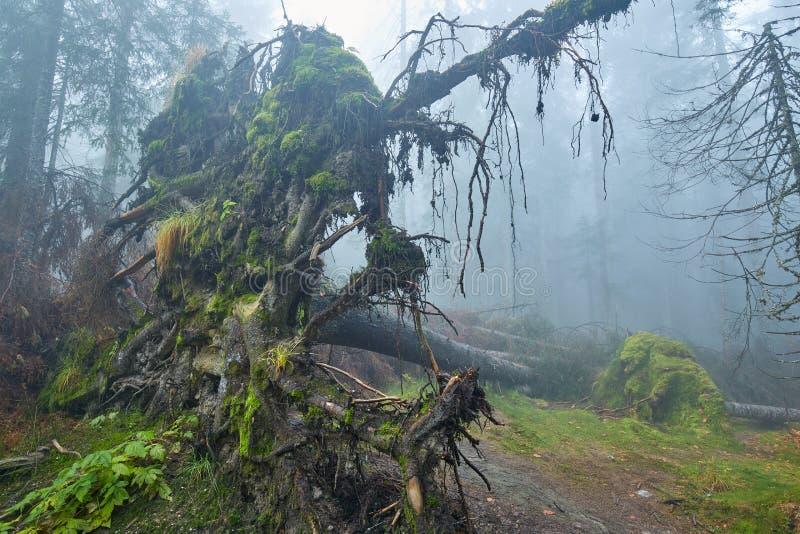 Grand arbre déraciné dans la forêt photographie stock libre de droits