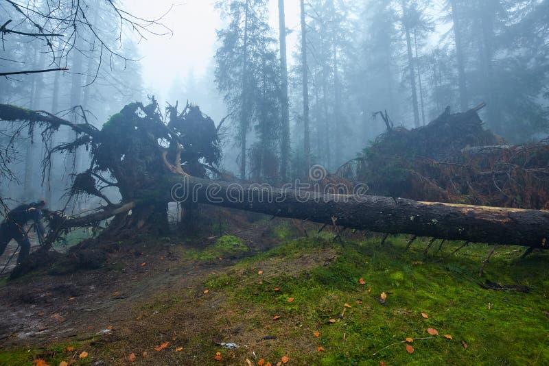 Grand arbre déraciné dans la forêt photo stock