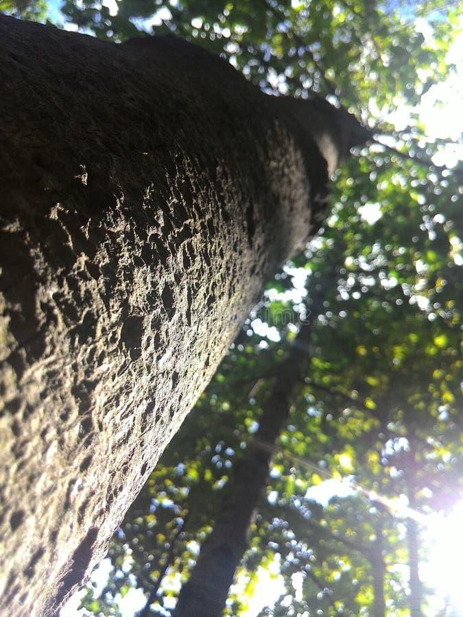 Grand arbre dans la jungle photographie stock libre de droits