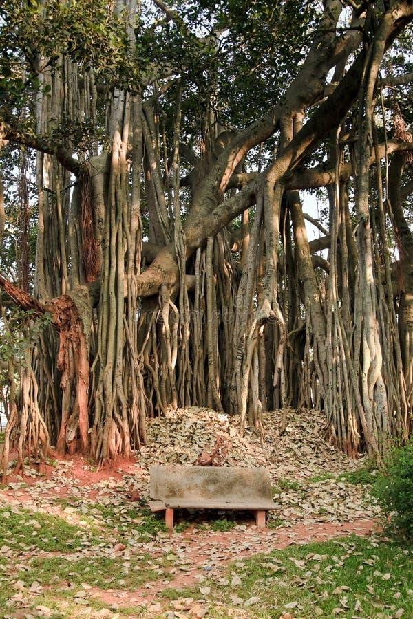 Grand arbre de banian image stock