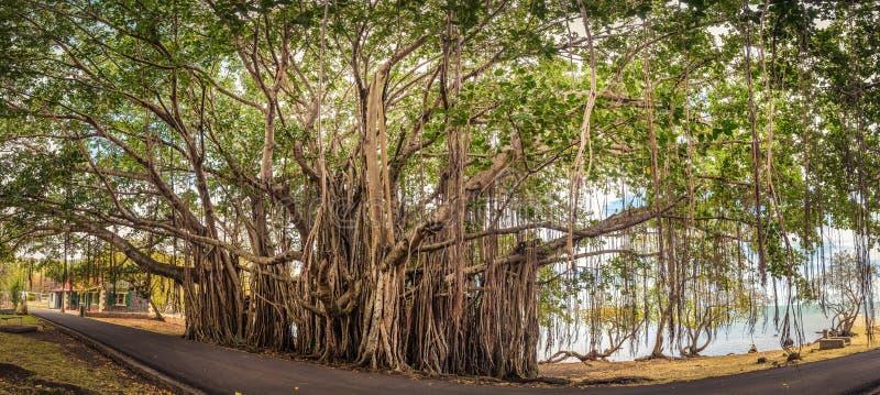 Grand arbre de banian Panorama images libres de droits