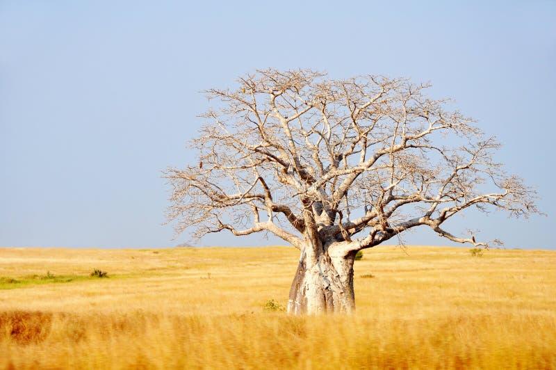 Grand arbre de Boabab dans le domaine photographie stock